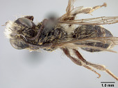 view Andrena (Cnemidandrena) rodilla Donovan, 1977 digital asset number 1