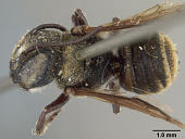 view Megachile aurantipennis Cockerell, 1912 digital asset number 1