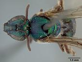view Augochlora quiriguensis Cockerell, 1913 digital asset number 1