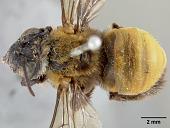 view Tetralonia sheffieldi umbiloensis Cockerell, 1917 digital asset number 1