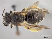 view Andrena (Trachandrena) virginiana digital asset number 1