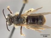view Andrena (Leucandrena) chippewaensis Mitchell, 1960 digital asset number 1
