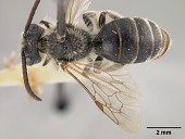 view Andrena (Trachandrena) compacta Mitchell, 1960 digital asset number 1