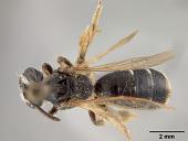 view Andrena (Gonandrena) dreisbachi Mitchell, 1960 digital asset number 1