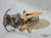 view Andrena (Gonandrena) monroensis Mitchell, 1960 digital asset number 1
