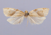 view Cacoecia victoriana Busck, 1921 digital asset number 1
