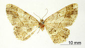 view Melanolophia fugitaria Schaus, 1913 digital asset number 1