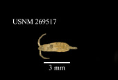 view Calanoides acutus (Giesbrecht, 1902) digital asset number 1
