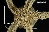 view Ophiacantha bidentata (Retzuis, 1805) digital asset number 1