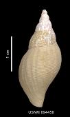 view Belaturricula turrita (Strebel, 1908) digital asset number 1