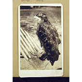 """view """"Old Abe"""" Eagle of 8th Wisconsin Volunteers digital asset number 1"""