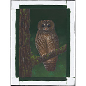 view Spotted Owl digital asset number 1