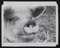 thumbnail image for Close-up photograph of a pig's face