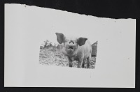thumbnail image for Photograph of a pig