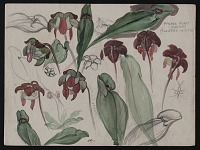 thumbnail image for Sketch of pitcher plants