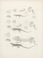 """view Engraving of lizard species """"Proctotretus Tenius, Proctoretus Femoratus, and Proctotretus Stantoni"""" digital asset number 1"""