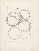 """view Engraving of snake species """"Dryophis vittatus"""" digital asset number 1"""