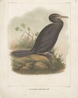 "view Chromolithograph of bird species ""Phalacrocorax Brasilianus"" digital asset number 1"