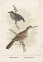 "view Lithograph of bird species ""Ericornis Melanura and Scytalopus Fuscus"" digital asset number 1"