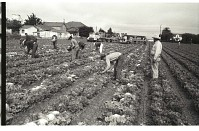 view Braceros Picking Lettuce digital asset: Braceros pick lettuce while an official stands close to the workers in the Salinas Valley, California.