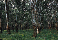 view Rubber plantation owned by the Firestone Tire and Rubber Company, Liberia digital asset: Rubber plantation owned by the Firestone Tire and Rubber Company, Liberia