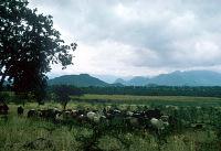 view Cattle in the surrounding plains, Mount Kilimanjaro region, Tanzania digital asset: Cattle in the surrounding plains, Mount Kilimanjaro region, Tanzania