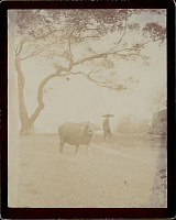 view Man in Costume and with Water Buffalo 1896 digital asset number 1