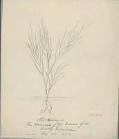 """view Indians of the Northwest Plateau, and stinkum, a native plant, signed """"G. Sohon"""" 1853-62 digital asset number 1"""