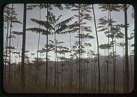 view Trees outside IRSAC guesthouse, circa 1956 digital asset number 1
