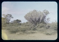 view Euphorbus, circa 1956 digital asset number 1