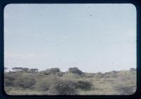 view Tanganyika savannah - planoform trees, circa 1956 digital asset number 1