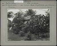 view Untitled Garden in Fort Lauderdale, Florida digital asset: Unidentified Garden in Fort Lauderdale, Florida [photoprint]