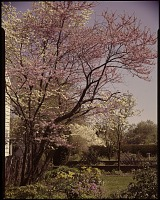 view [The Rowley House]: redbud and dogwood beside the house. Fence of the herb garden in background. digital asset: [The Rowley House] [transparency]: redbud and dogwood beside the house. Fence of the herb garden in background.