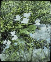 view [Unidentified Gardens in Summit, New Jersey]: close up of flowers in bloom on the rocks. digital asset: [Unidentified Gardens in Summit, New Jersey]: close up of flowers in bloom on the rocks.: [between 1914 and 1949?]
