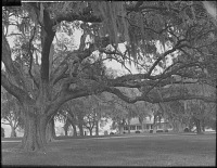 view [Unidentified Gardens in Summit, New Jersey]: live oaks spread their branches across the lawn. digital asset: [Unidentified Gardens in Summit, New Jersey]: live oaks spread their branches across the lawn.: [between 1914 and 1949?]