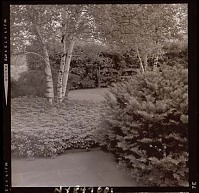 view [Unidentified Garden in Armonk, New York, No. 3]: pachysandra, evergreens, birch, and rail fence beyond. digital asset: [Unidentified Garden in Armonk, New York, No. 3] [photonegative]: pachysandra, evergreens, birch, and rail fence beyond.