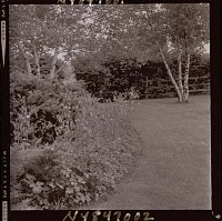 view [Unidentified Garden in Armonk, New York, No. 3]: border with pachysandra, columbine, and evergreens, with birch trees beyond. digital asset: [Unidentified Garden in Armonk, New York, No. 3] [photonegative]: border with pachysandra, columbine, and evergreens, with birch trees beyond.