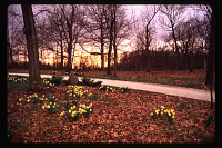 view [Christopher Place]: driveway with daffodils overlooking meadow, in spring. digital asset: [Christopher Place]: driveway with daffodils overlooking meadow, in spring.: 1997 Apr.
