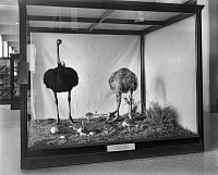 view Ostrich Family, National Museum of Natural History digital asset number 1