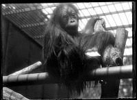 view Orangutan Sits on his Perch at the National Zoological Park digital asset number 1