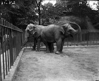 view Asian Elephants digital asset number 1
