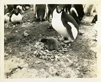 view Penguins in Antarctica digital asset number 1