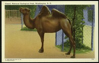 view Blank Postcard of a Camel at the Zoo digital asset number 1