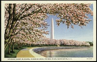 view Postcard of Japanese Cherry Blossoms on Riverside Drive digital asset number 1
