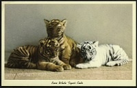 view Blank Postcard of Rare White Tiger's Cubs digital asset number 1