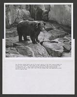 "view Smokey in his NZP enclosure upon his ""retirement,"" c. May 1975 digital asset number 1"
