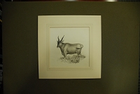 "view Chapman, Abel, 1851-1929, artist. Original pen and ink drawing of ""Eland bull,"" from page 168 in On safari digital asset: Chapman, Abel, 1851-1929, artist. Original pen and ink drawing of ""Eland bull,"" from page 168 in On safari"