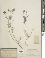 view Astragalus virgatus Pall. digital asset number 1