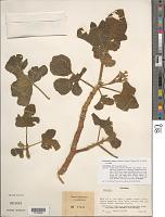 view Cnidoscolus urens var. urens (L.) Arthur digital asset number 1