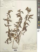 view Mimosa incarum Barneby digital asset number 1